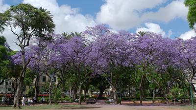 Buenos Aires, jacarandá