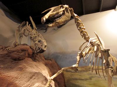 Argentina, Chubut, Trelew, MEF, saber-toothed tiger