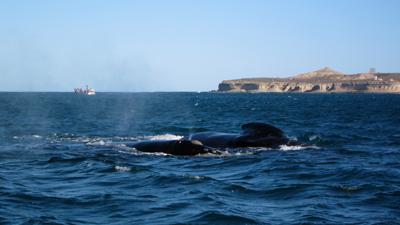Argentina, Península Valdés, Puerto Pirámide, avistaje, whale, ballena