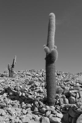 Argentina, Salta, Santa Rosa de Tastil, ruins, cardón, cacti