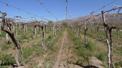 Argentina, Salta, Cafayate, Bodegas El Porvenir de los Andes, vineyard, viñedo