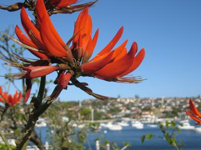 Australia, Sydney, Watsons Bay, coral tree