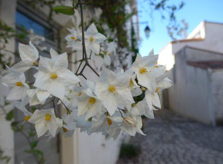 France, Île de Ré, Saint-Martin-de-Ré, flower, street scene