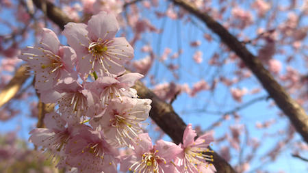 Japan, Tokyo, sakura, cherry blossoms